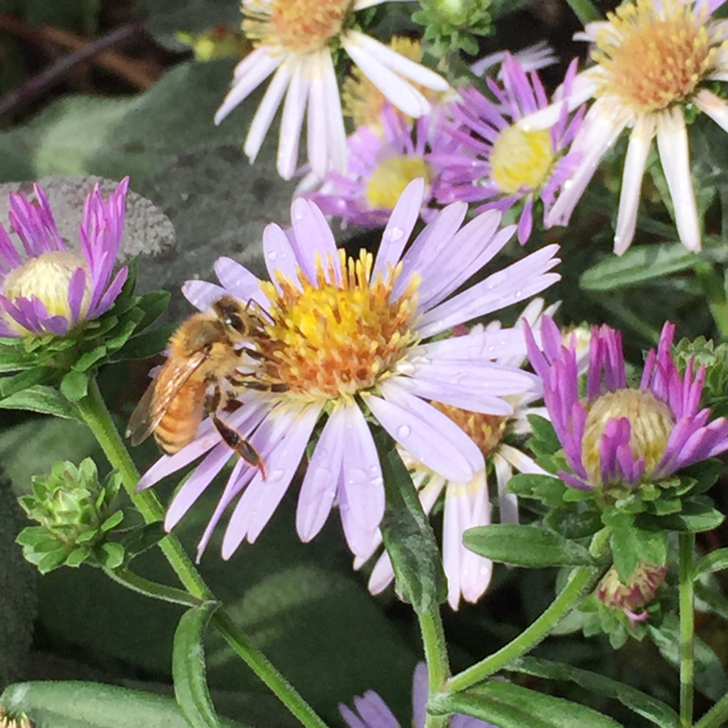 Fall-Aster with bee10.jpg