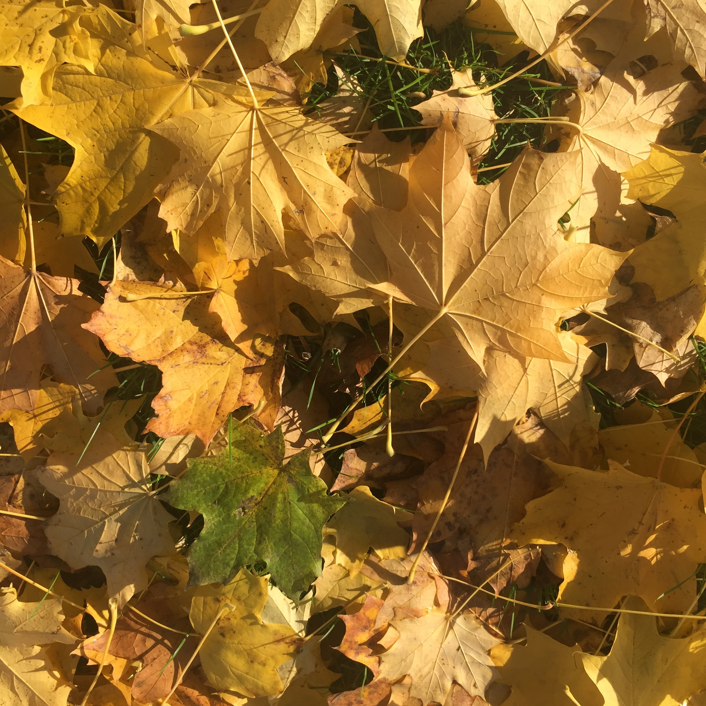 Yellow maple leaves laying on grass.