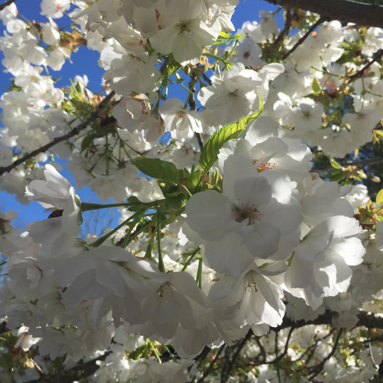 Spring-Roses white1.jpg