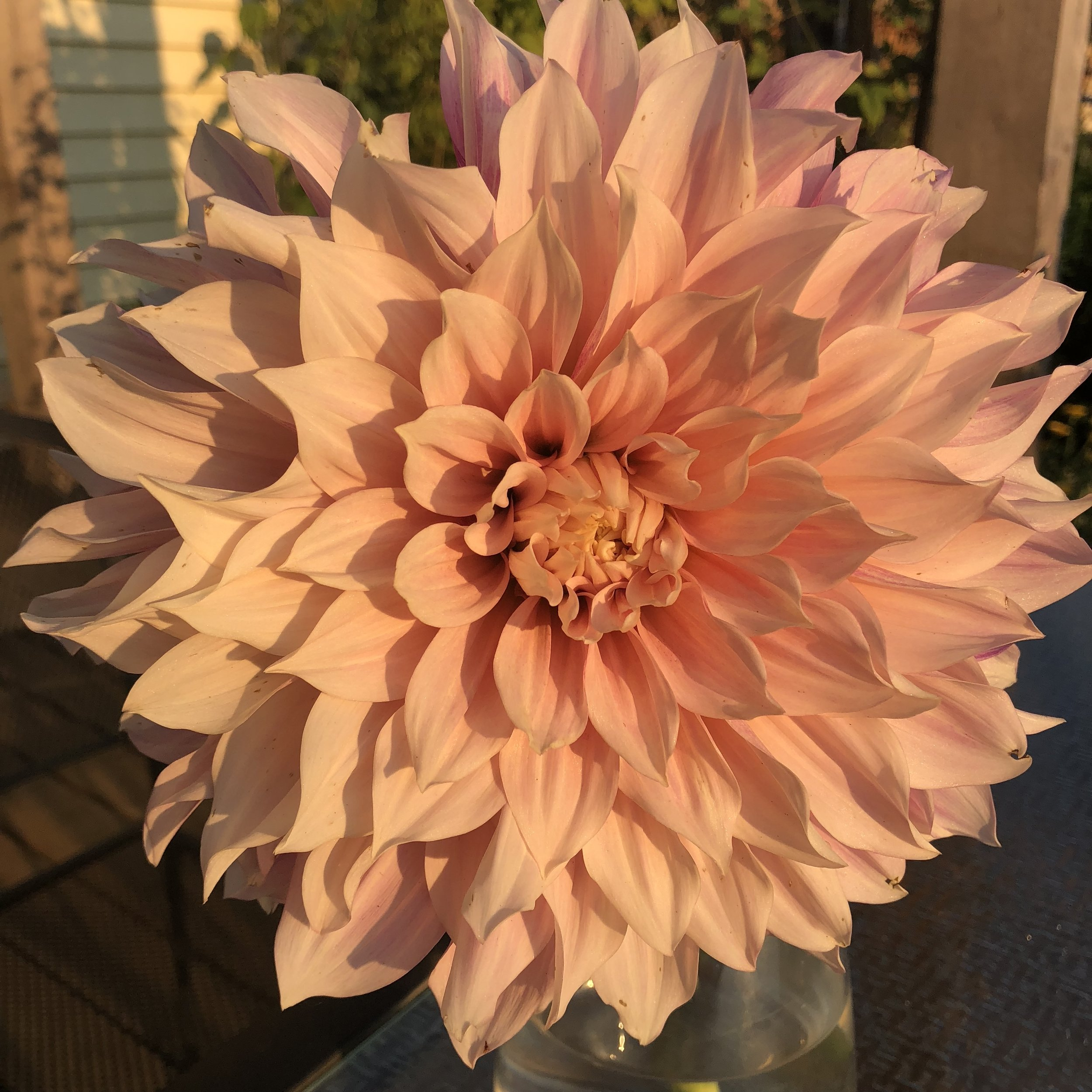 A peach colored dahlia flower.