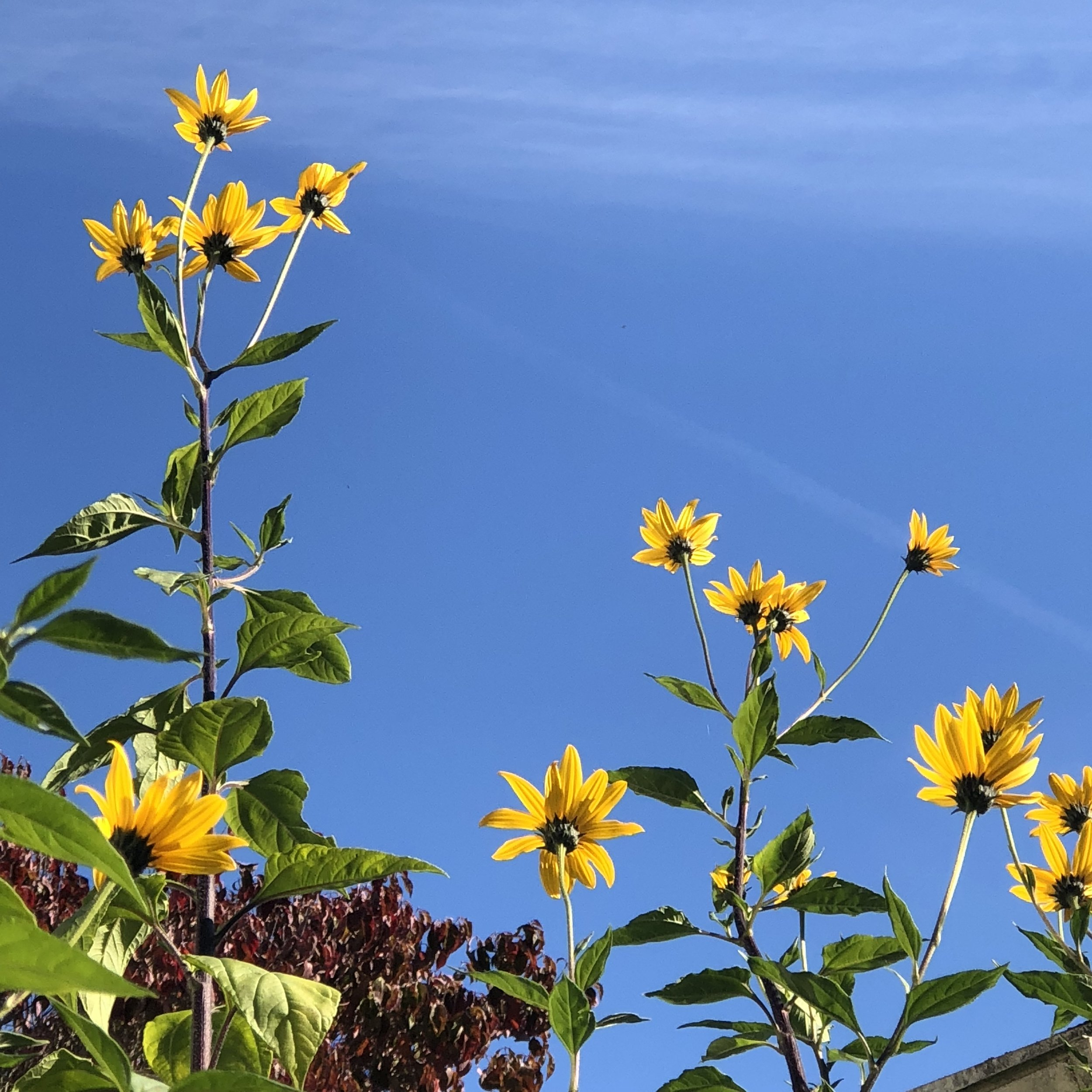 Bright yellow flowers in front of a blue sky.
