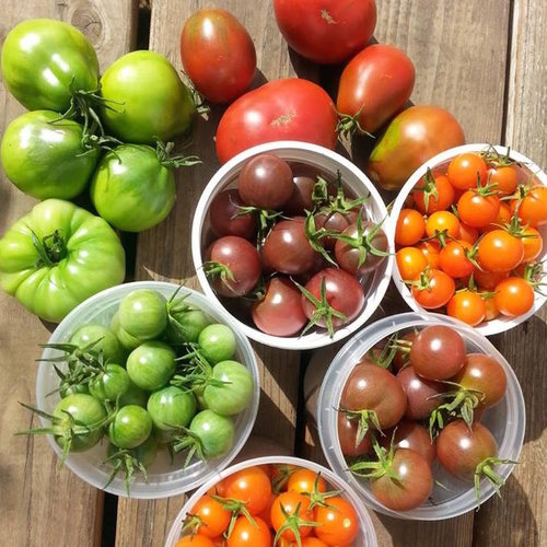 A harvest of green, red, and orange tomatoes.