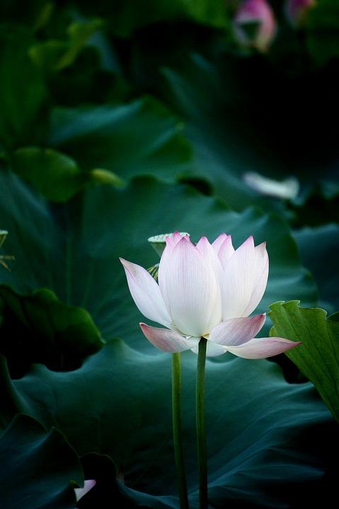 lotus2.jpg