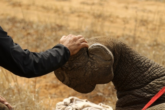 With so few left, rhino need a hand. If you would like to help please  click here .