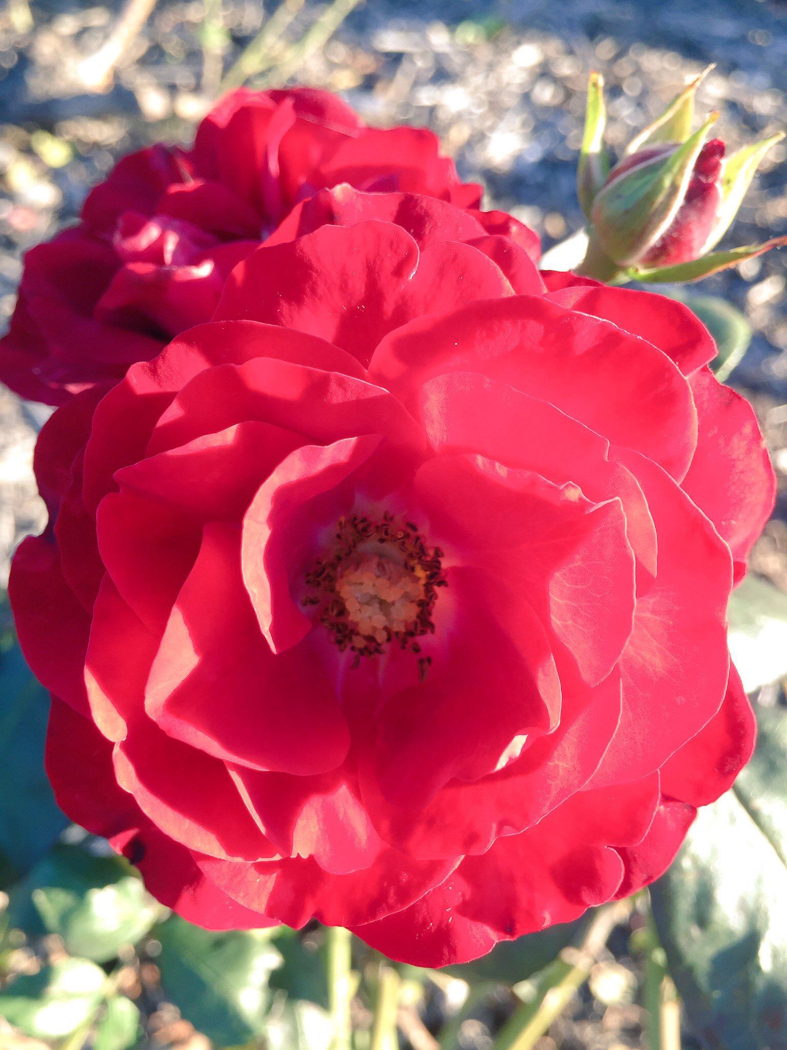 a winter rose