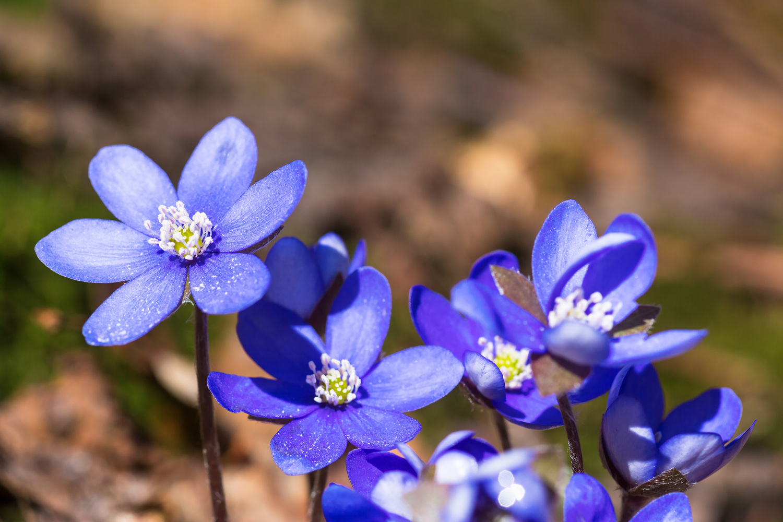 "Opplev våren på Mærrapanna. Flere steder er det svære ""tepper"" med blåveis."