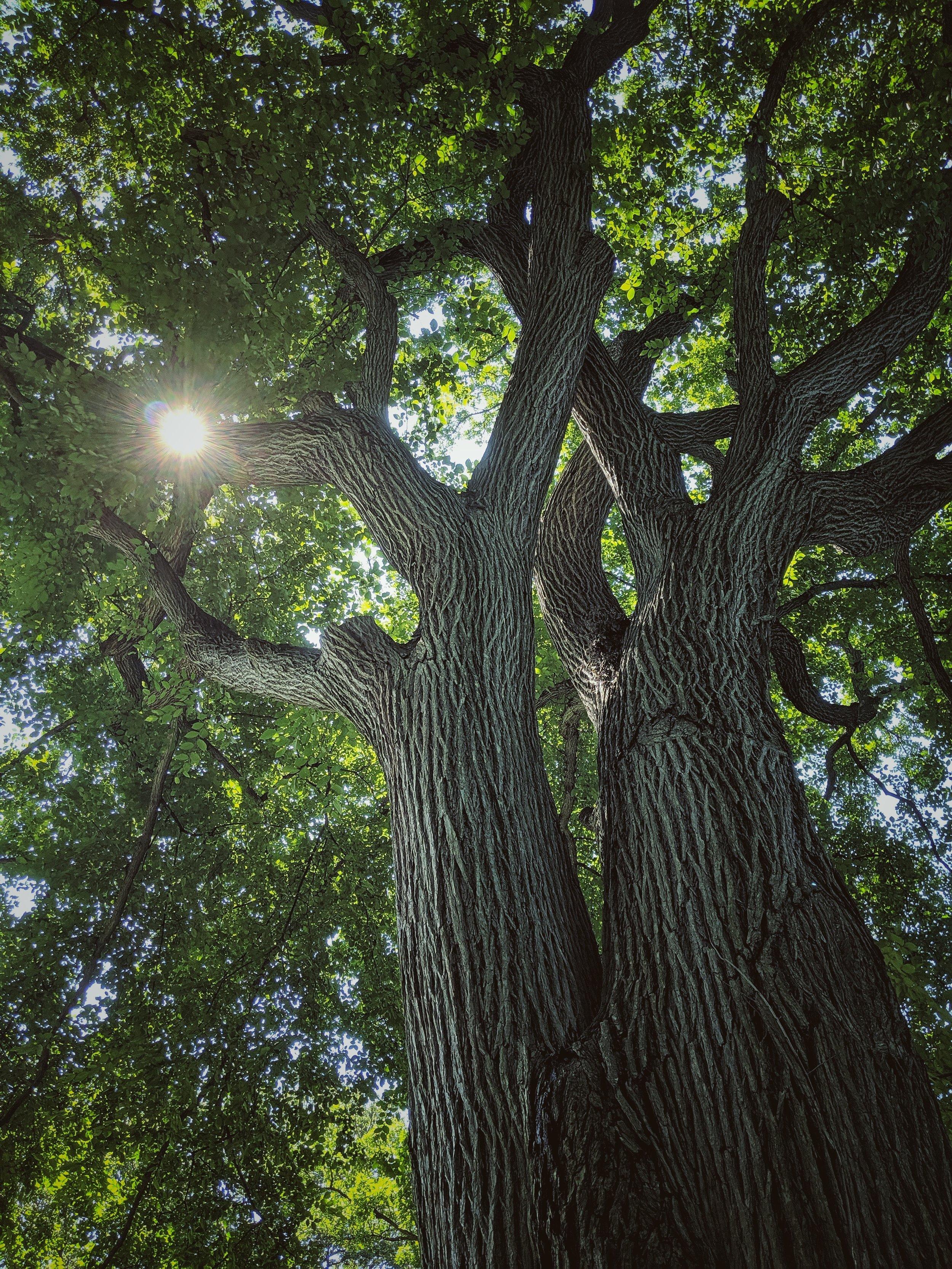 elm tree at nybg