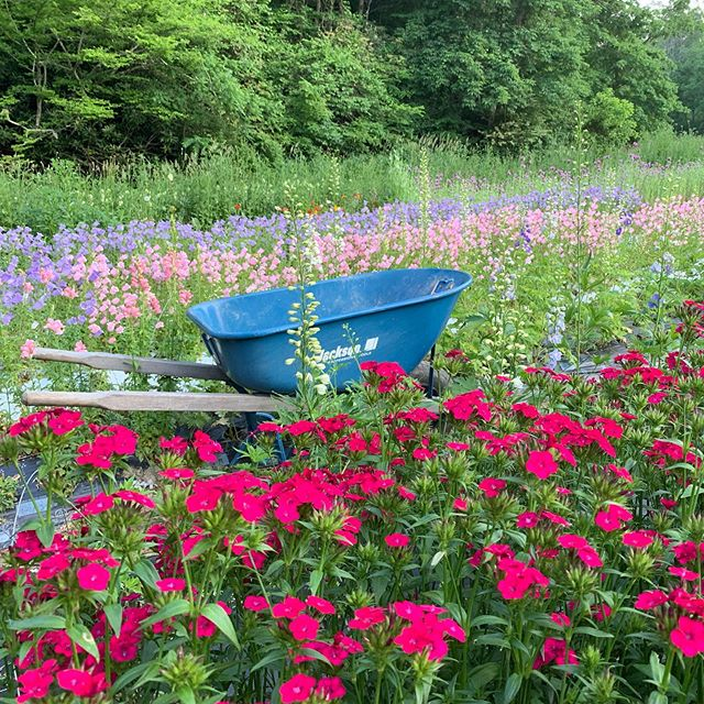 If you know anyone at Jackson Wheelbarrow, tell them they're missing out on some seriously cute flower photos. This one is just an outtake. Wait til you see what we did with this wheelbarrow last night! It was a fun moment amidst the stress of this week. - To be honest, this week has been a tough one. No rain for two weeks, and none in the forecast. Lots of summer transplants still need to go in, and it's tricky figuring out how to go about it without rain, but we're sojourning on. I spend most of my time preparing for flash flooding at the farm since that's our No. 1 threat with all these mountains draining down all around us! But drought exposes inefficiencies in our processes in a whole new way! We're learning, and we're doing just fine. But I'm definitely forced to reckon with my leadership, organization and infrastructure planning skills in a whole new way. - The upside is the fields look incredible right now. So much is blooming! We let it go for some fun photos with @jackfsorokin last night, but now comes the process of cutting back, cleaning up and composting a good bit of what contributed to those great shots! A good flower farm is green. A colorful flower farm is one that's wasting flowers! So, we'll take it back to normal now, amidst all the fixing of pumps, laying of drip line, finding of fittings, patching of holes, untangling hoses and tape, and all that. Oh 2019. You're not boring!