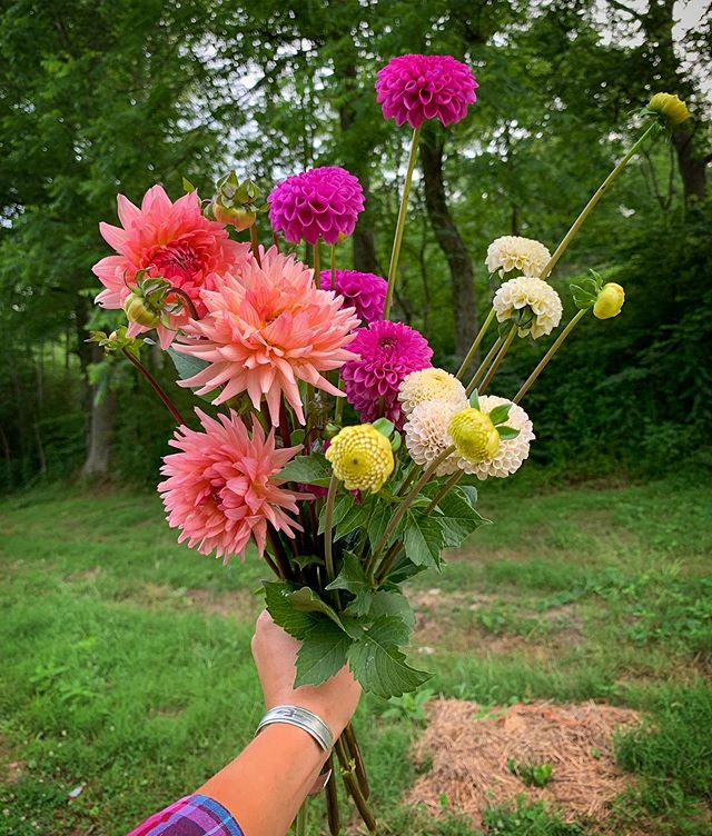 The first proper handful of dahlias came out of the field last night. No other flower enchants me quite like these big, long-blooming stunners. They're the flower I learned from the amazing @joniwavra, and the flower that most says summer in the mountains to me. We overwintered a couple thousand, and that's what's starting to bloom now. The big guns from the spring planting will bust out in July. I'm excited. Are you growing dahlias this year? Any blooms yet?