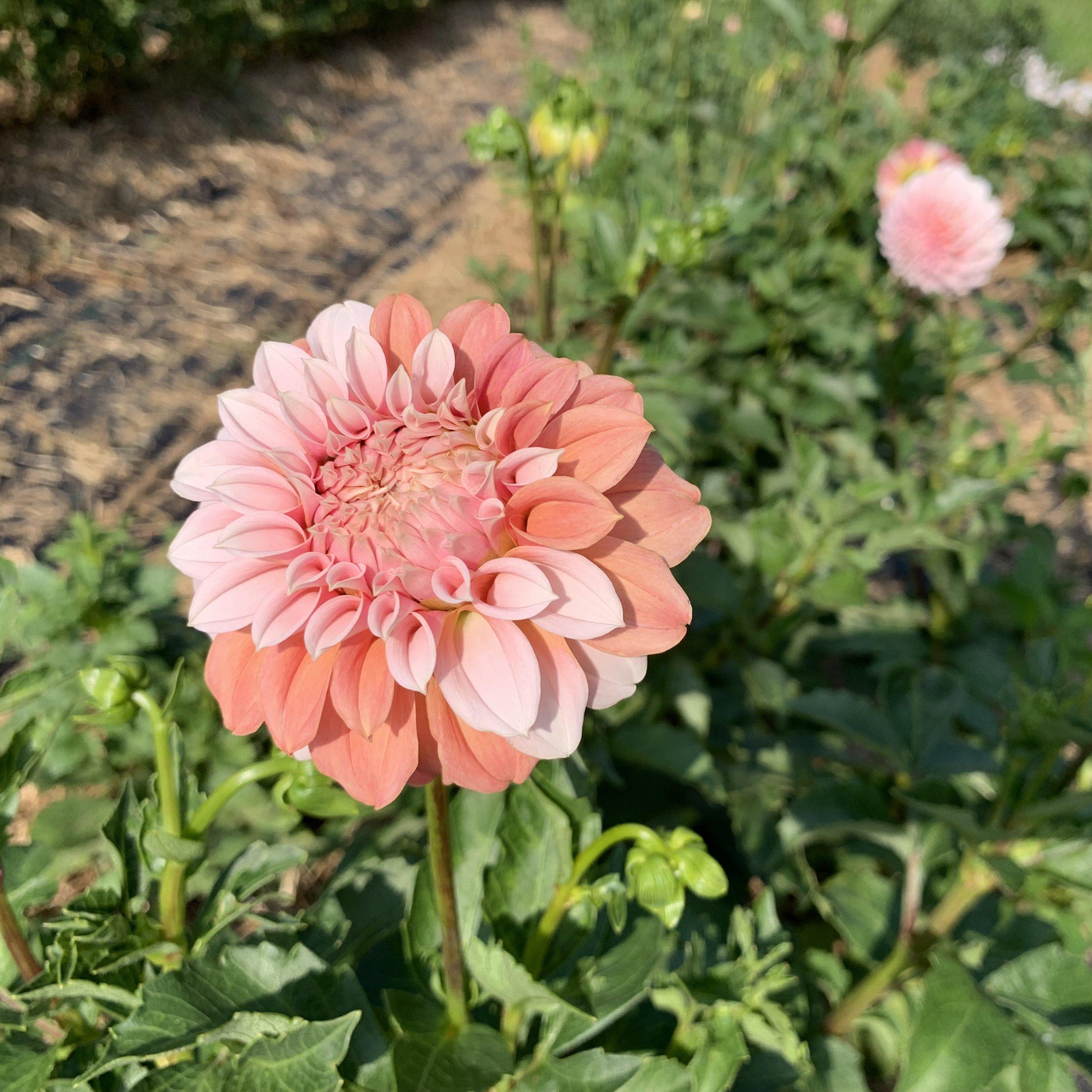 Peaches N Cream Asheville Flower Farm