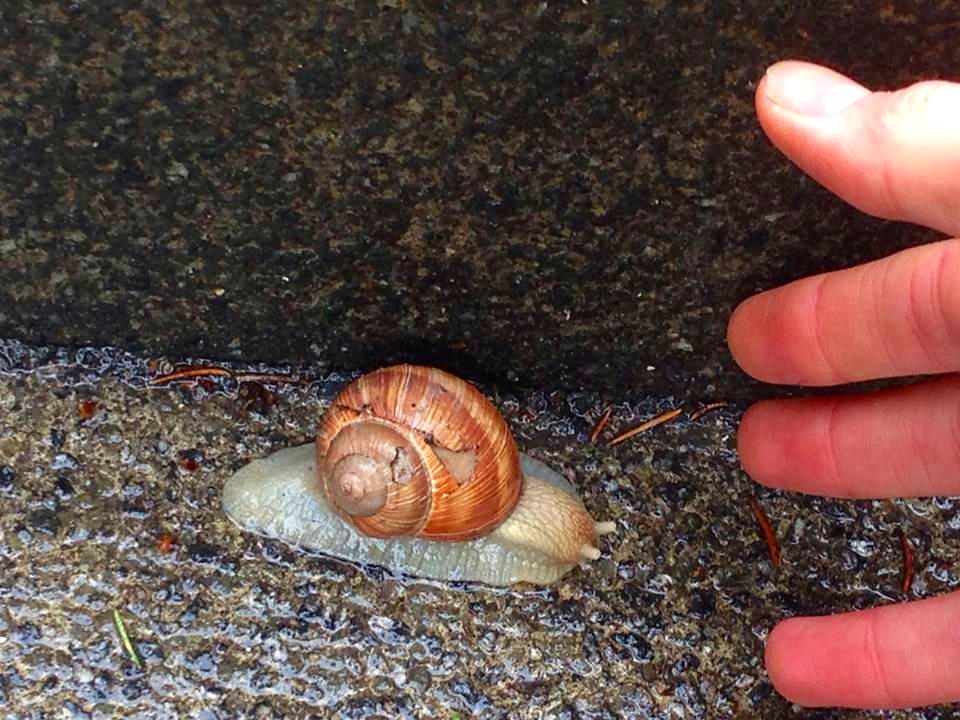 Giant snail: Tubingen, Germany