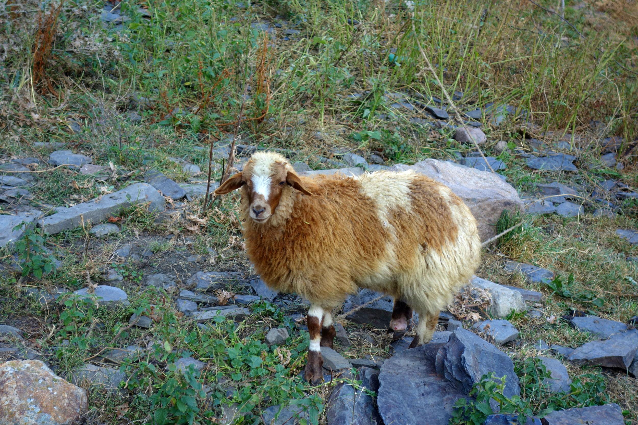 Very loud sheep: Stepansminda, Georgia