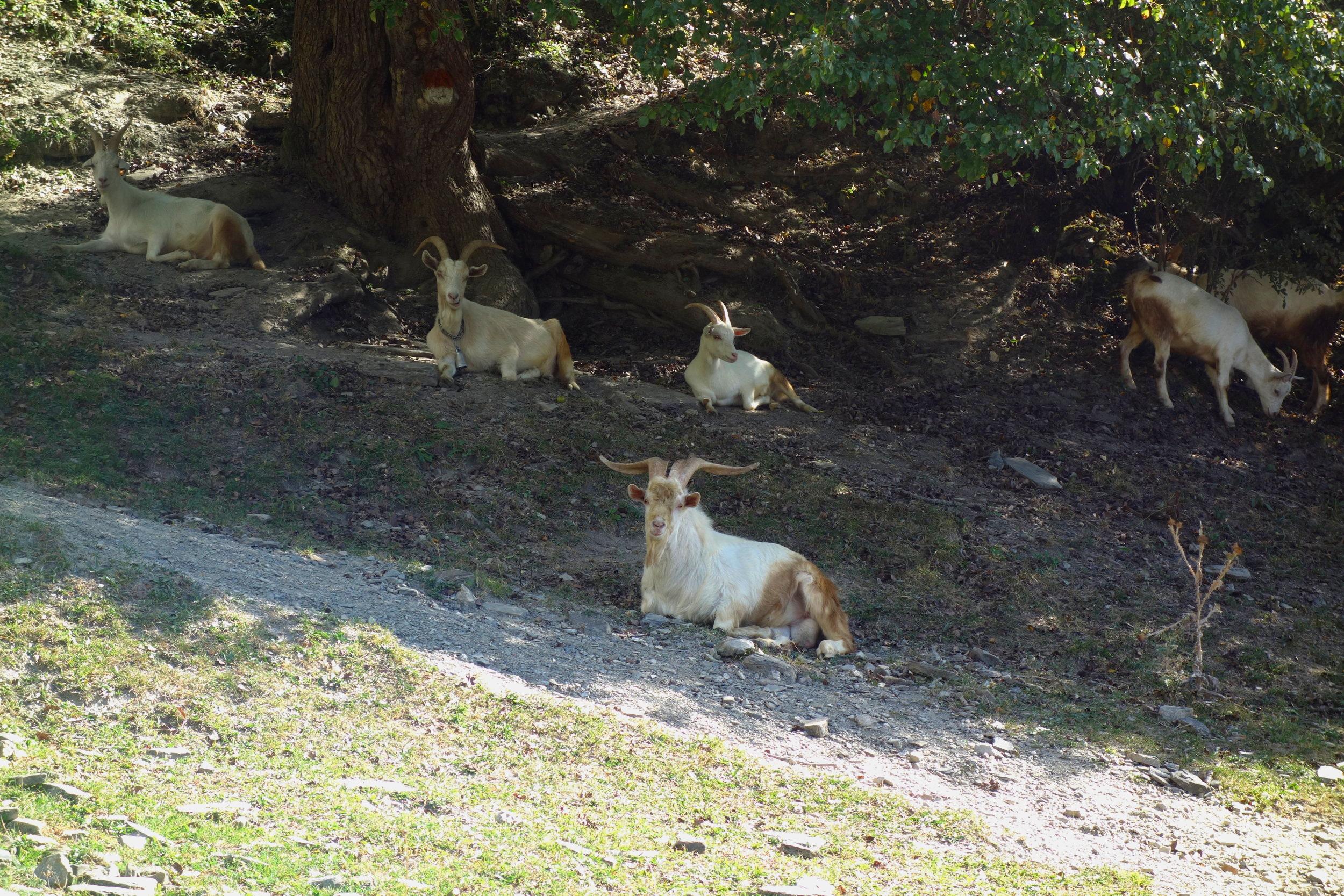 Goat Family: Mestia, Georgia