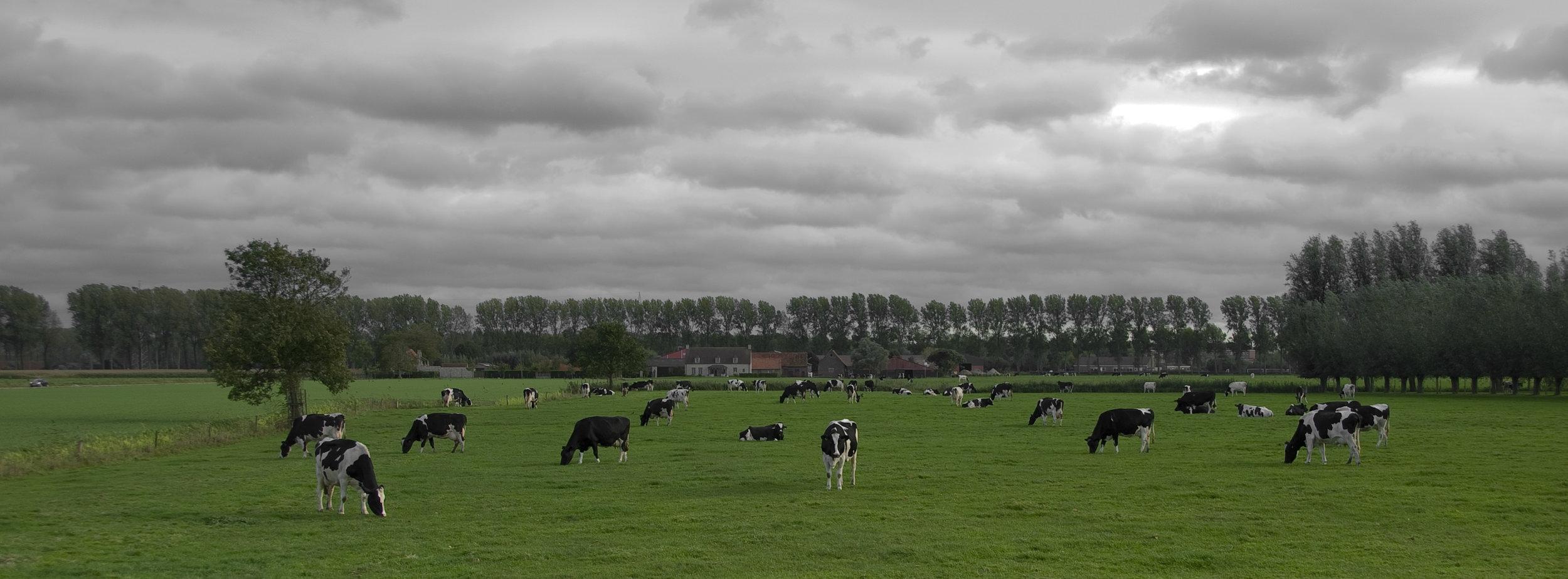 Belgian Cows