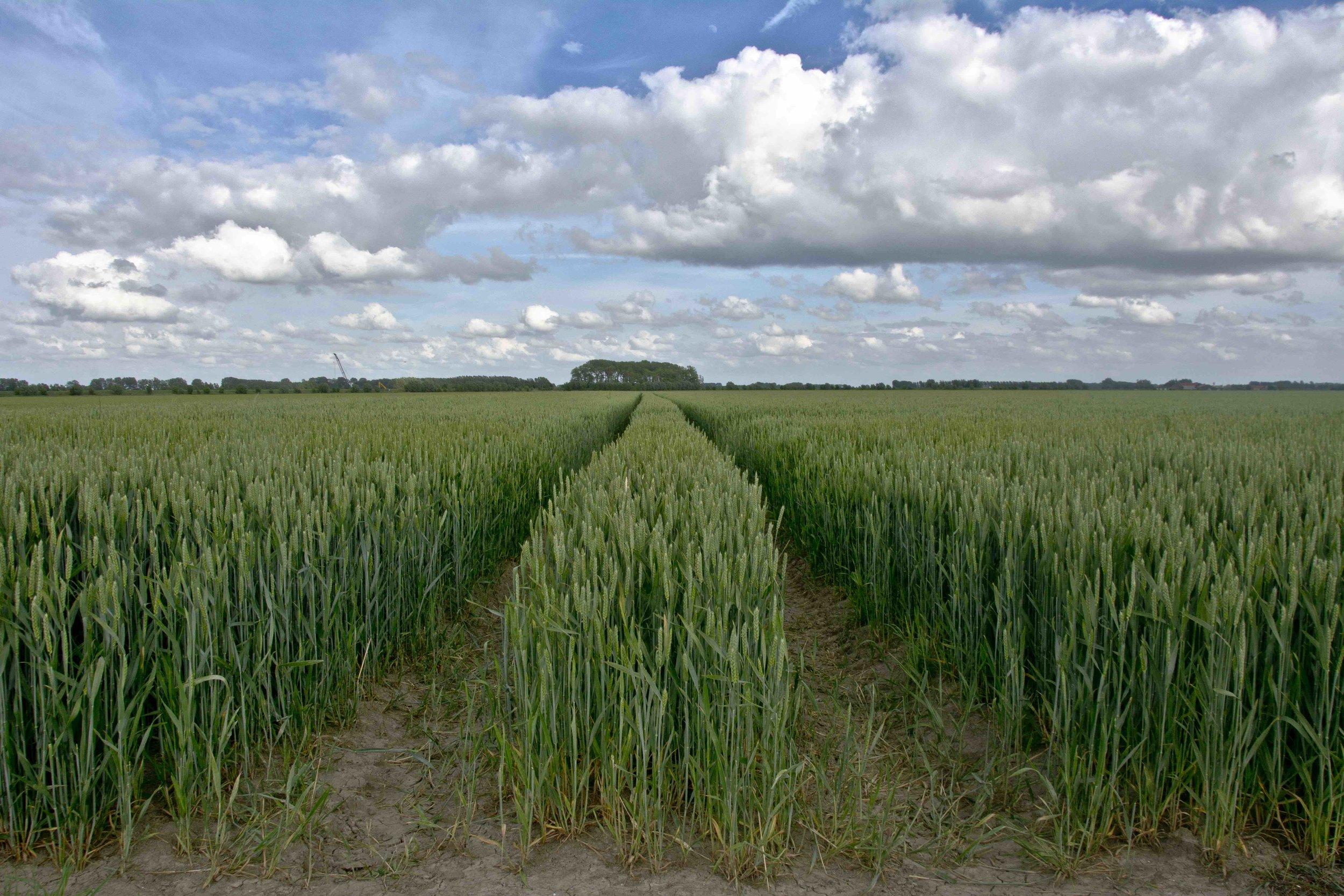 Wheat field in Belgium