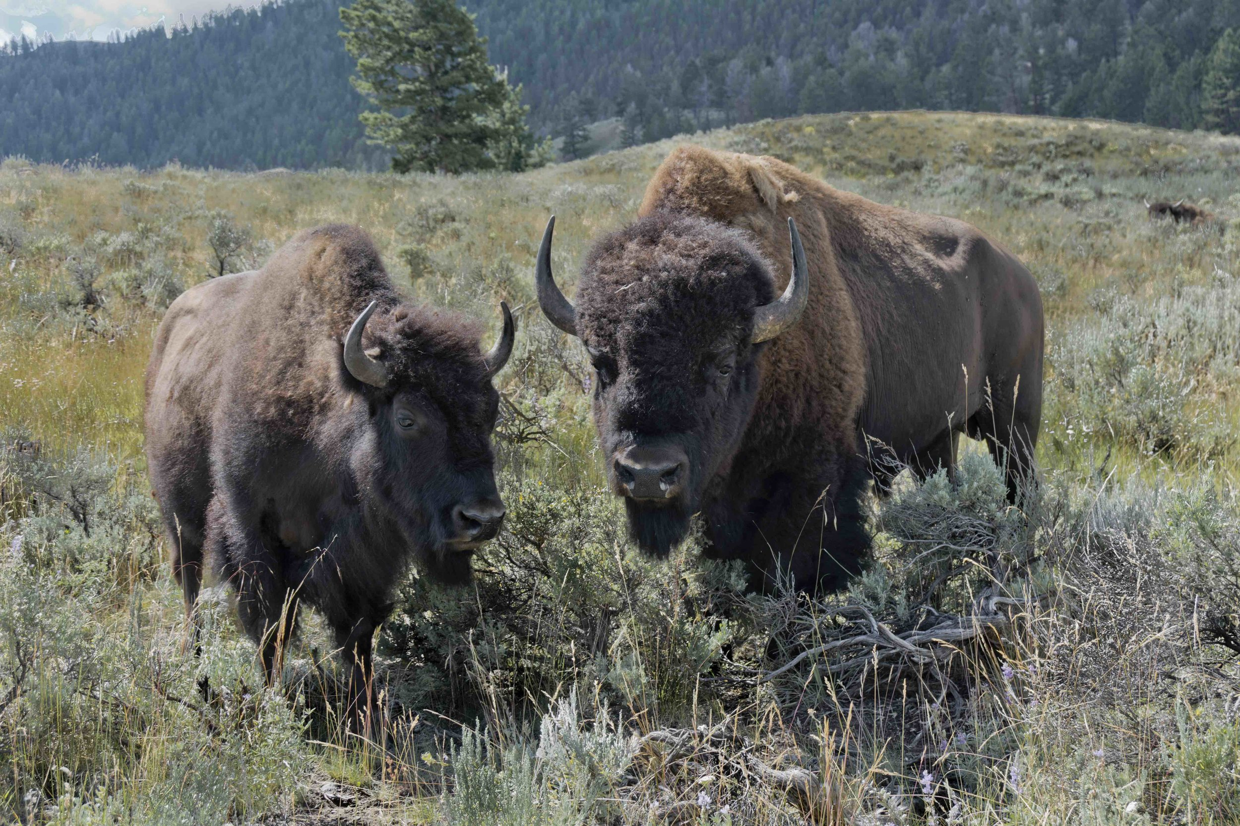 Bison in love