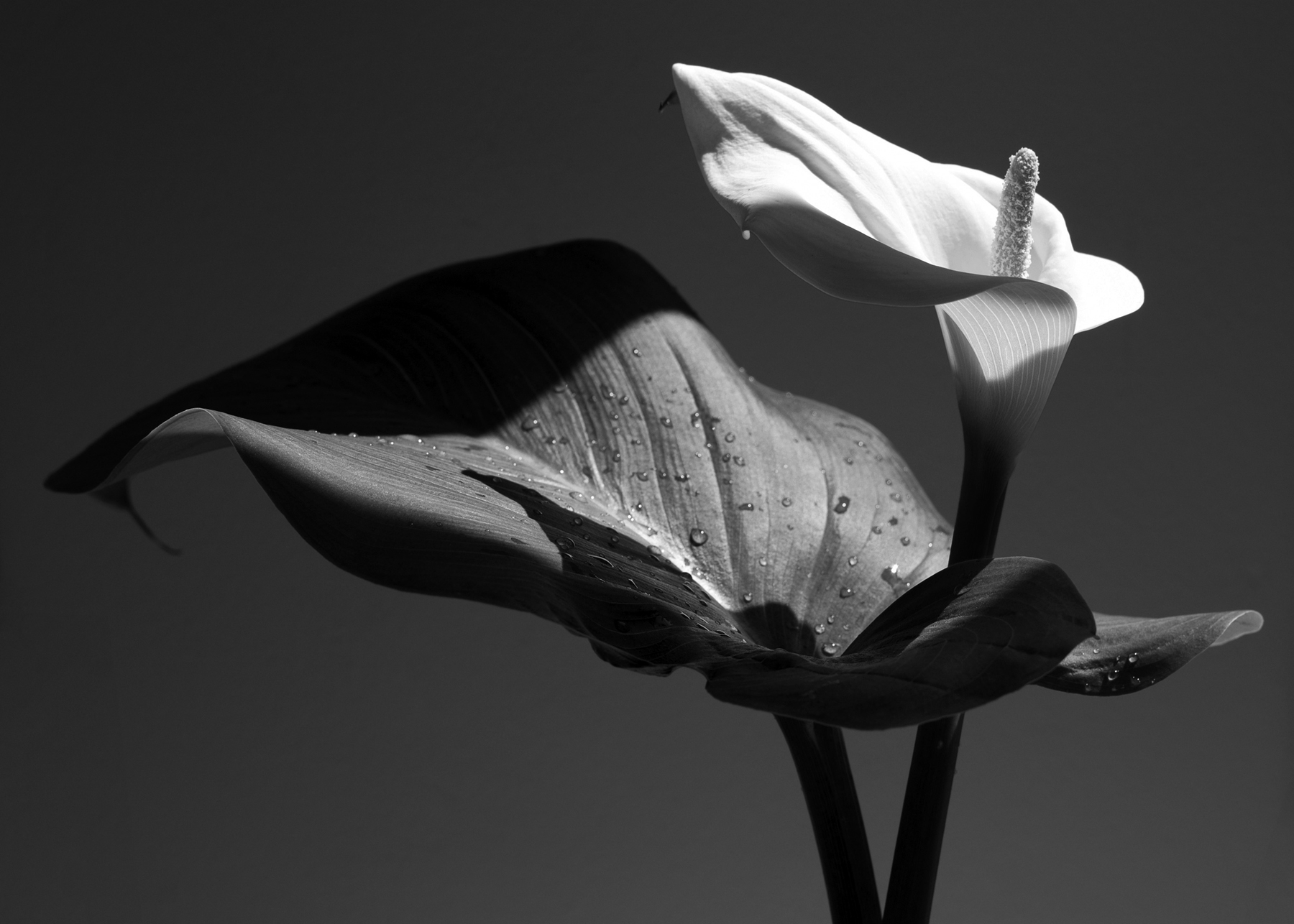 Calla lilly in bloom