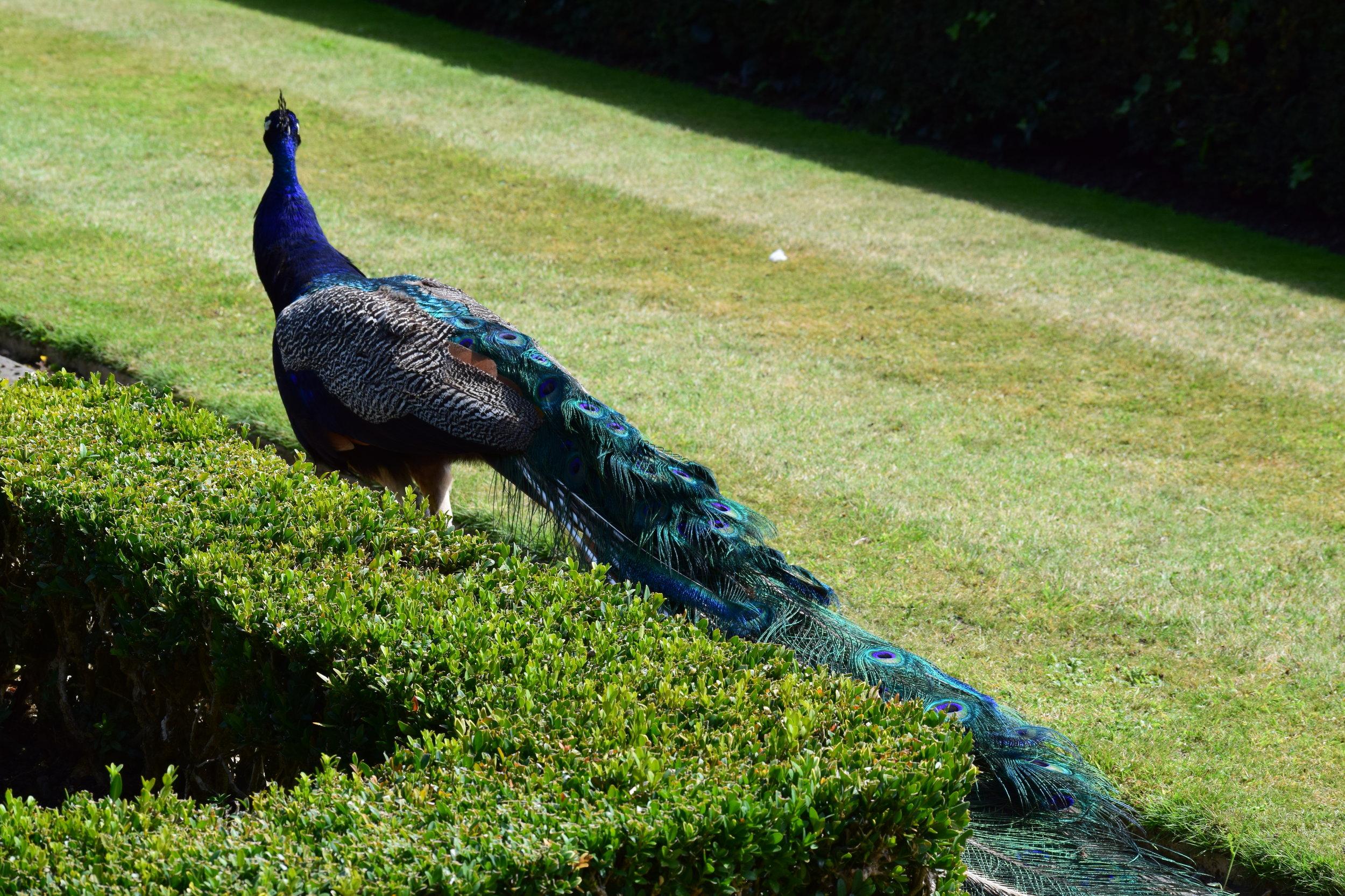 Peacocks in the gardens!