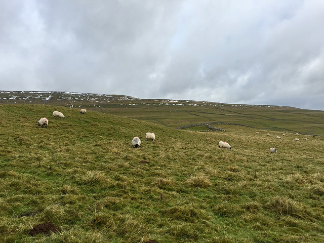 Token photo of sheep. More importantly, this is the first snow I've seen since 2014. #Withdrawl
