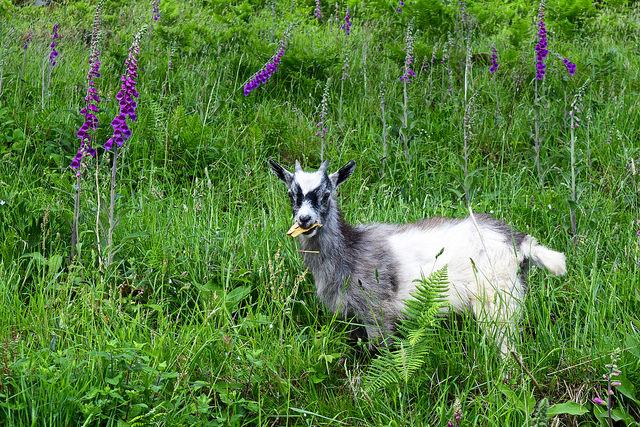 Baby goat munching