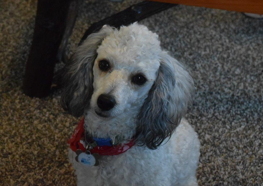 R ocky is our APRI registered mini poodle weighing 12# and producesTraditional Black tri, and sable mini bernedoodles.