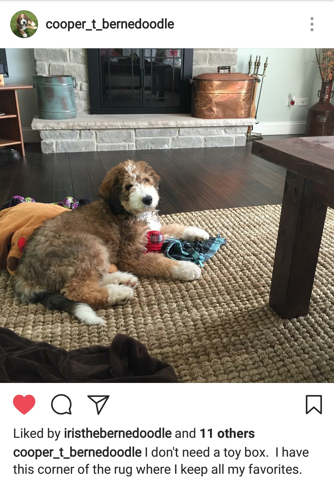 Cooper formerly Houston loving his new home in Chicago. You can find more pics of him on Instagram Cooper_T_Bernedoodle