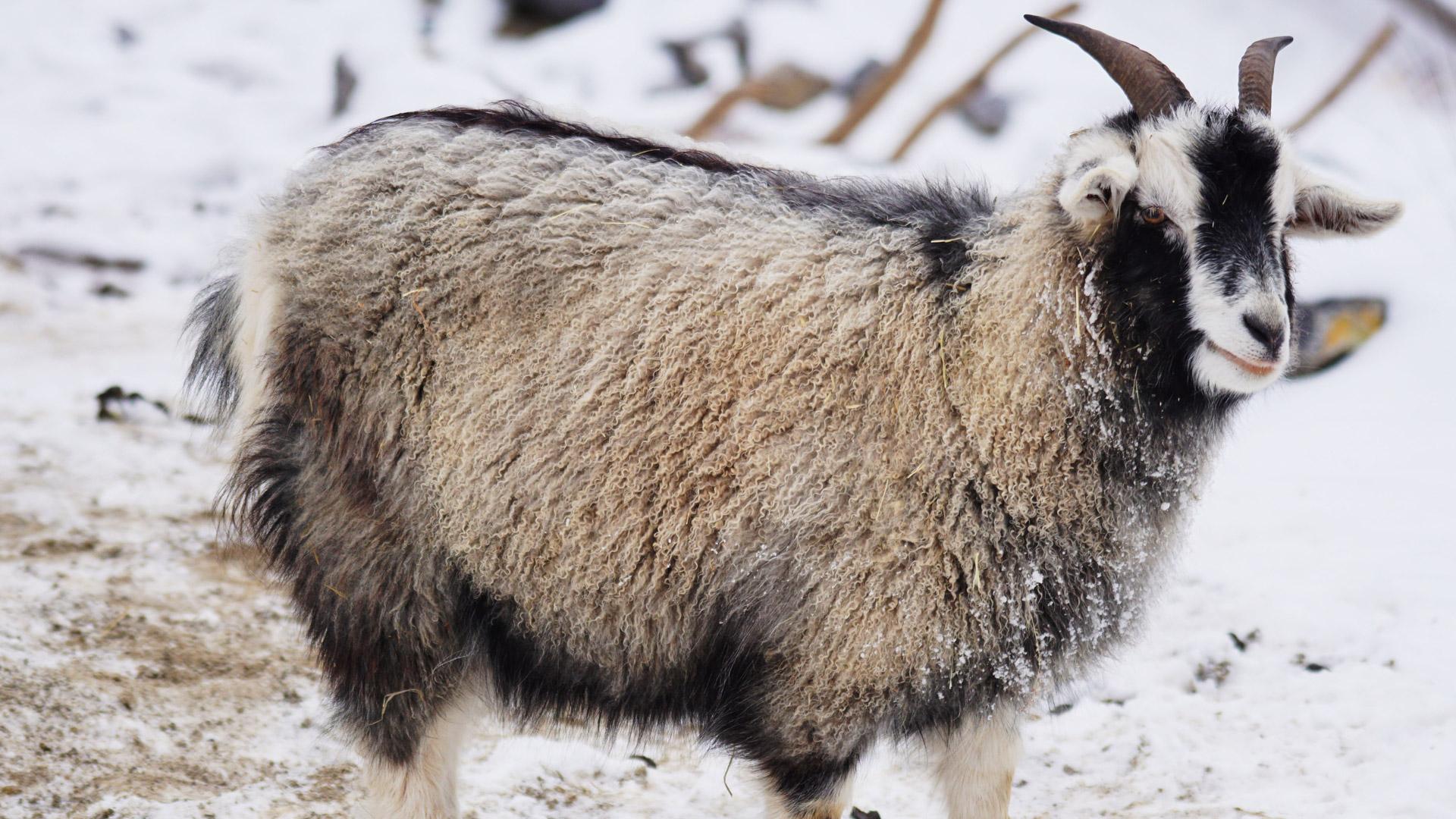 goat-1160961.jpg