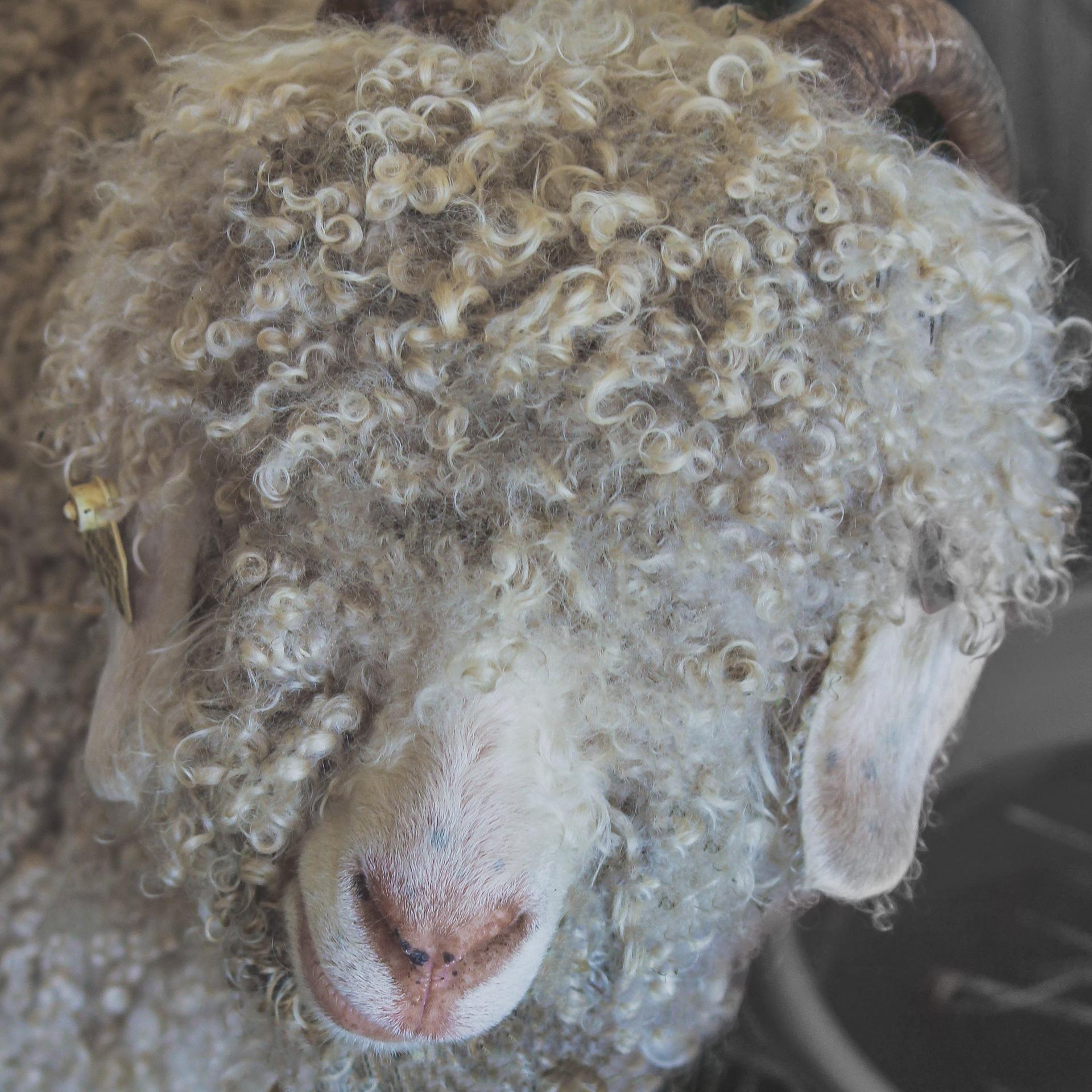 angora-goat-191775-(1).jpg