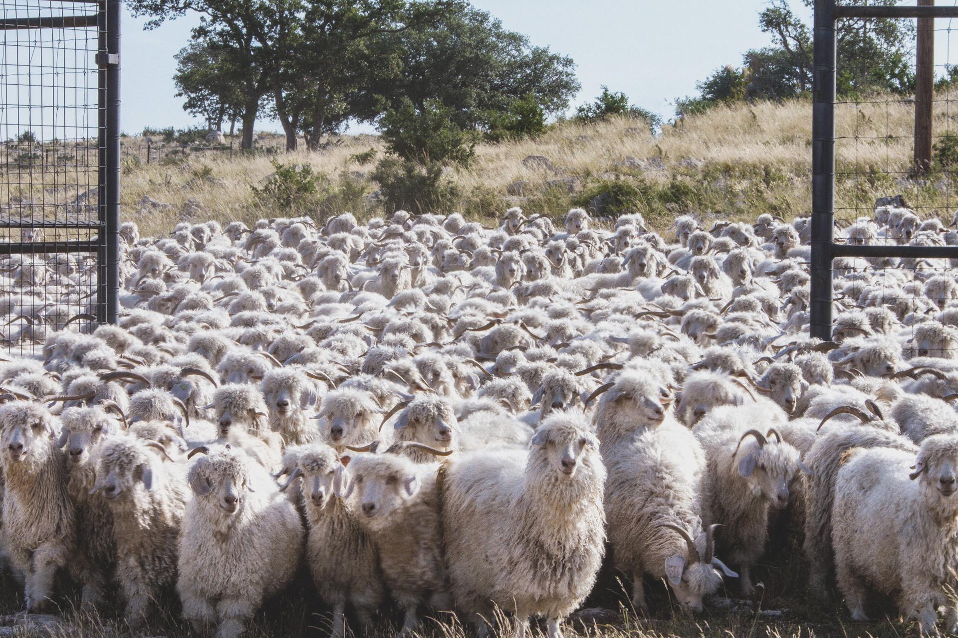 goats-auction-fibres-textiles.JPG