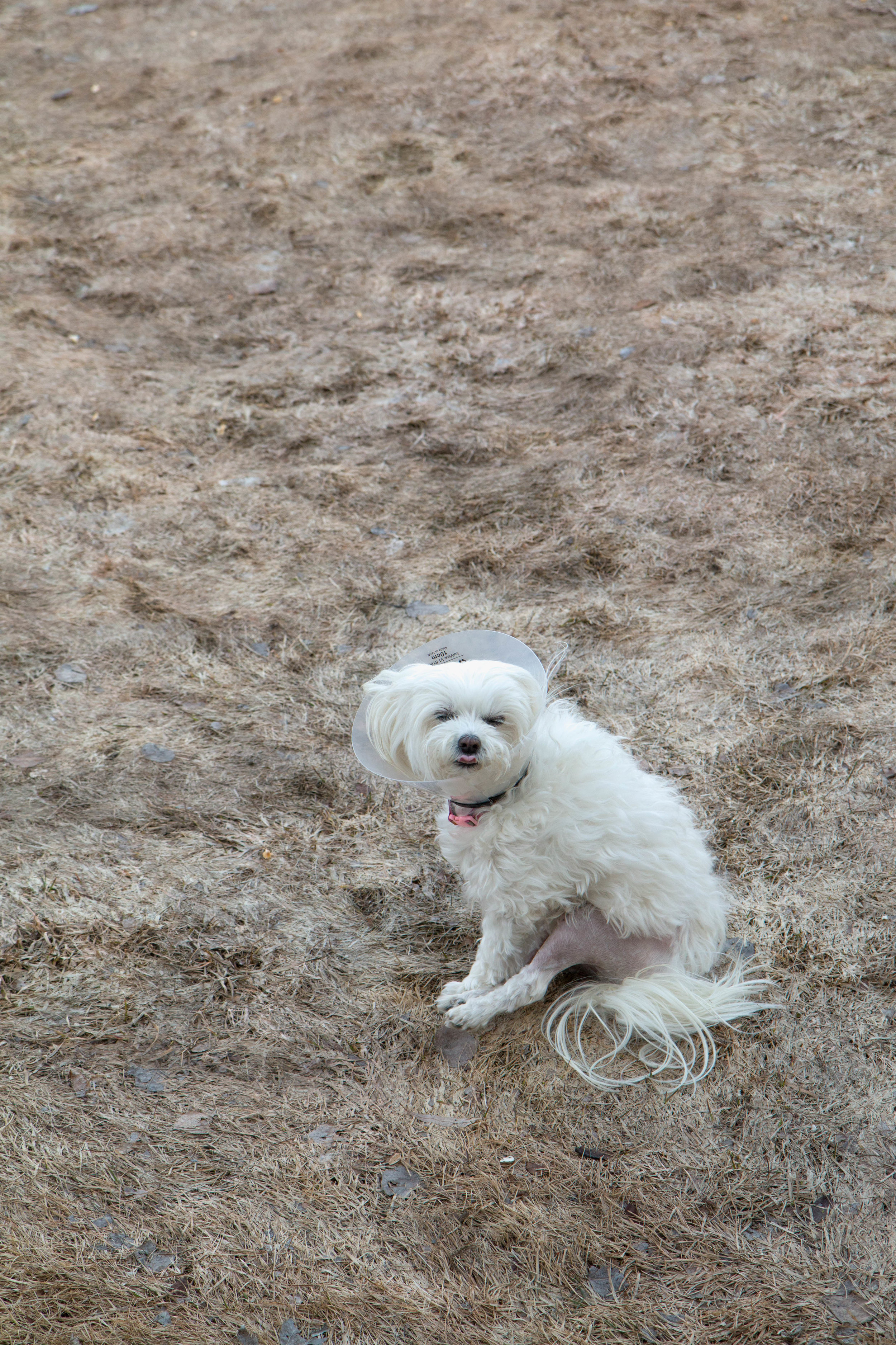 Adorable Maltese Sophi who recently had luxating patella surgery