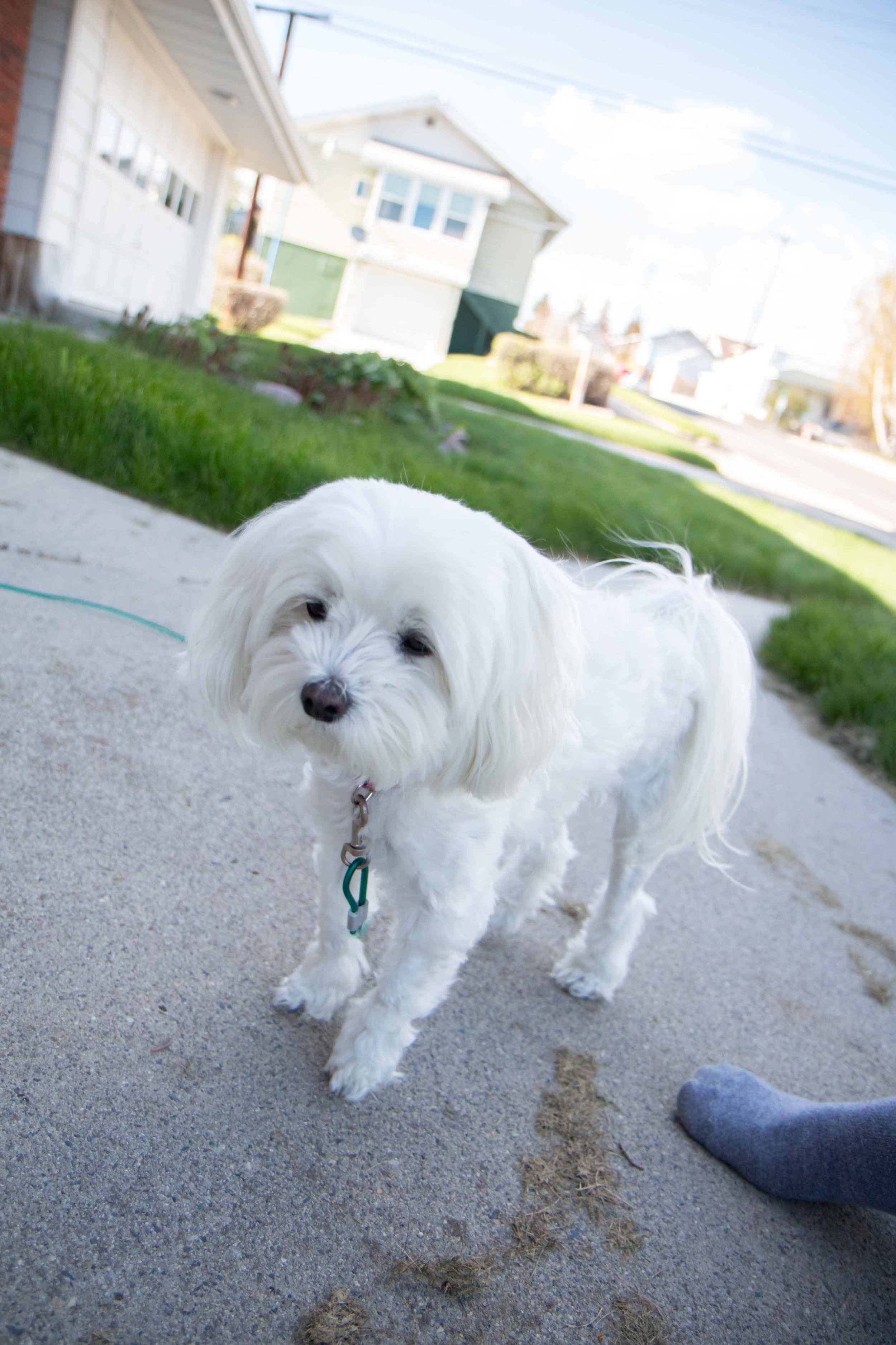 Sophi the most adorable little Maltese, a hypoallergenic brand of dog!
