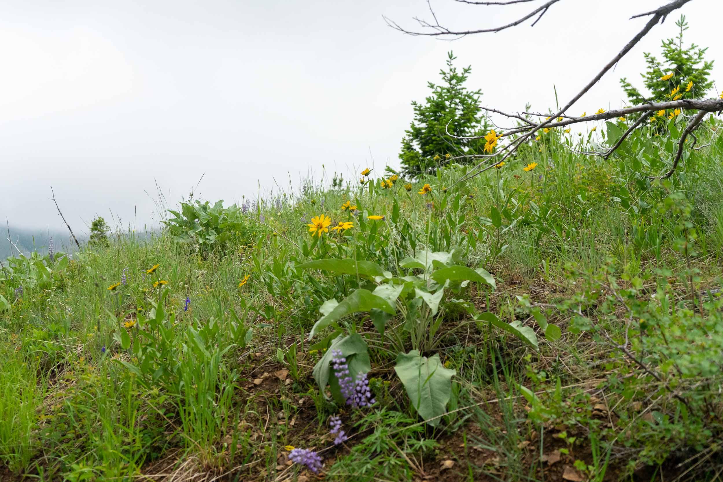Beautiful wild flowers nears Deer Creek Cabin forest service cabin near Big Timber, Montana