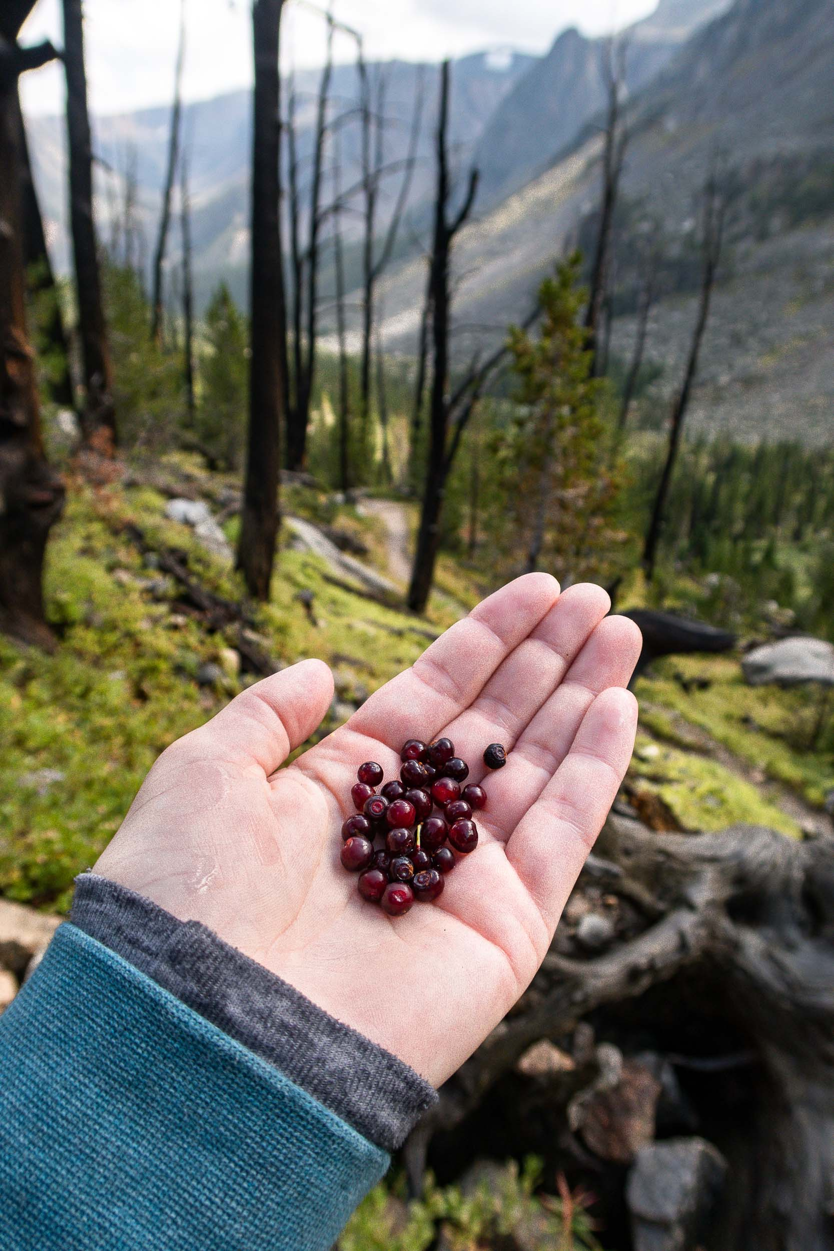 Fresh huckleberries picked on Glacier Lake Trail in Montana.