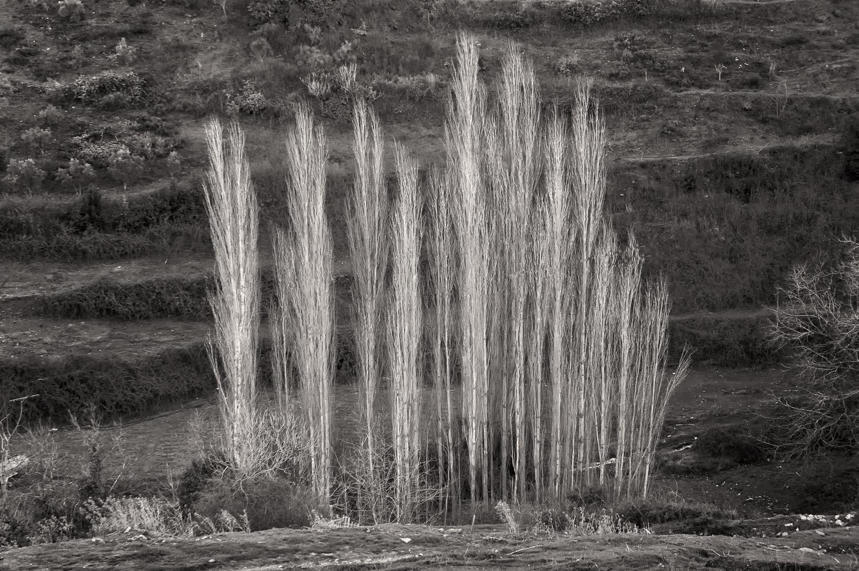 Poplar Trees, Cappadocia, Turkey