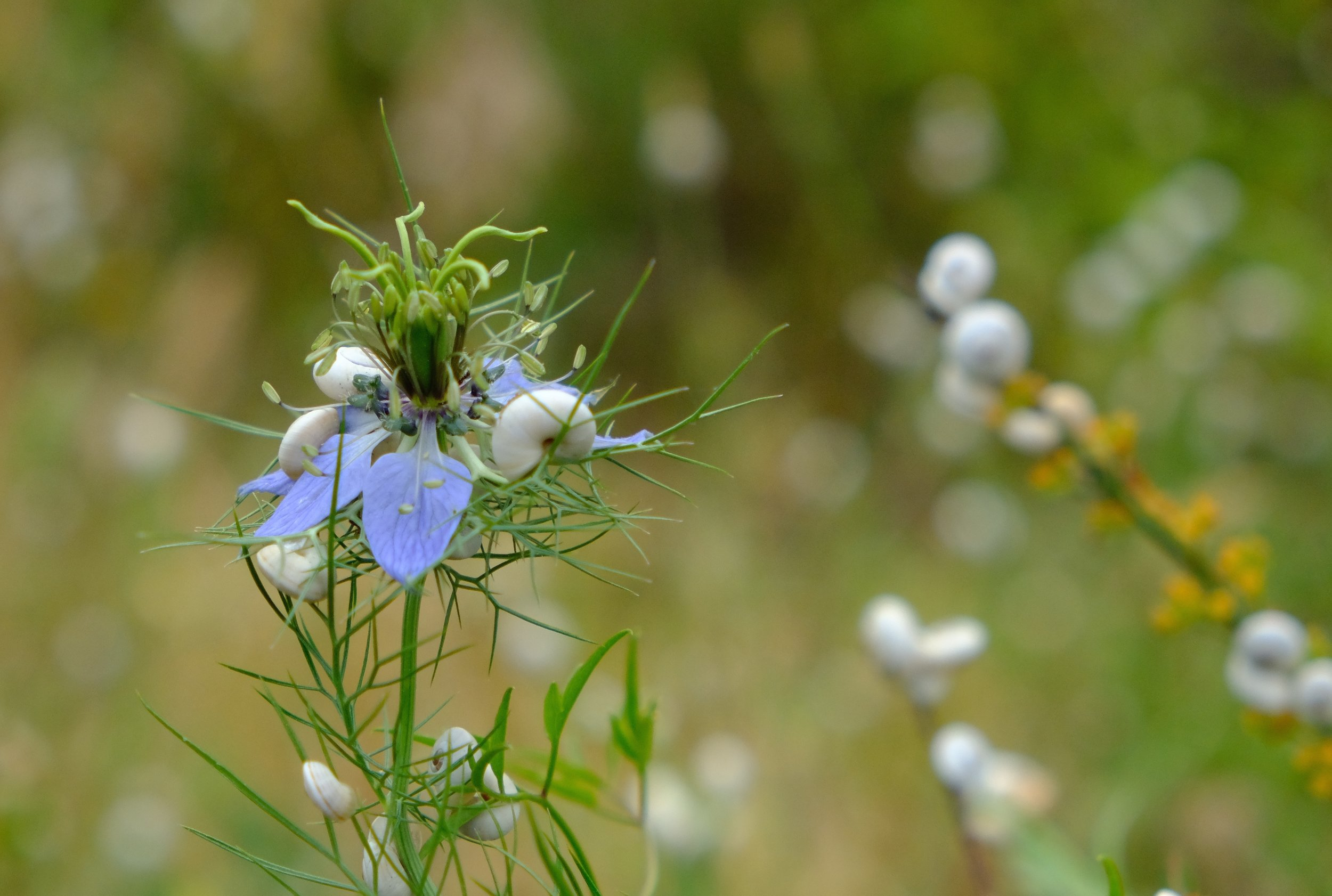 Tiny snails clinging to wild love-In-a-mist  (Nigella.)  They cover many of the plants here like limpets. They also stick to the bonnet of my car and have often survived the long journey to England.