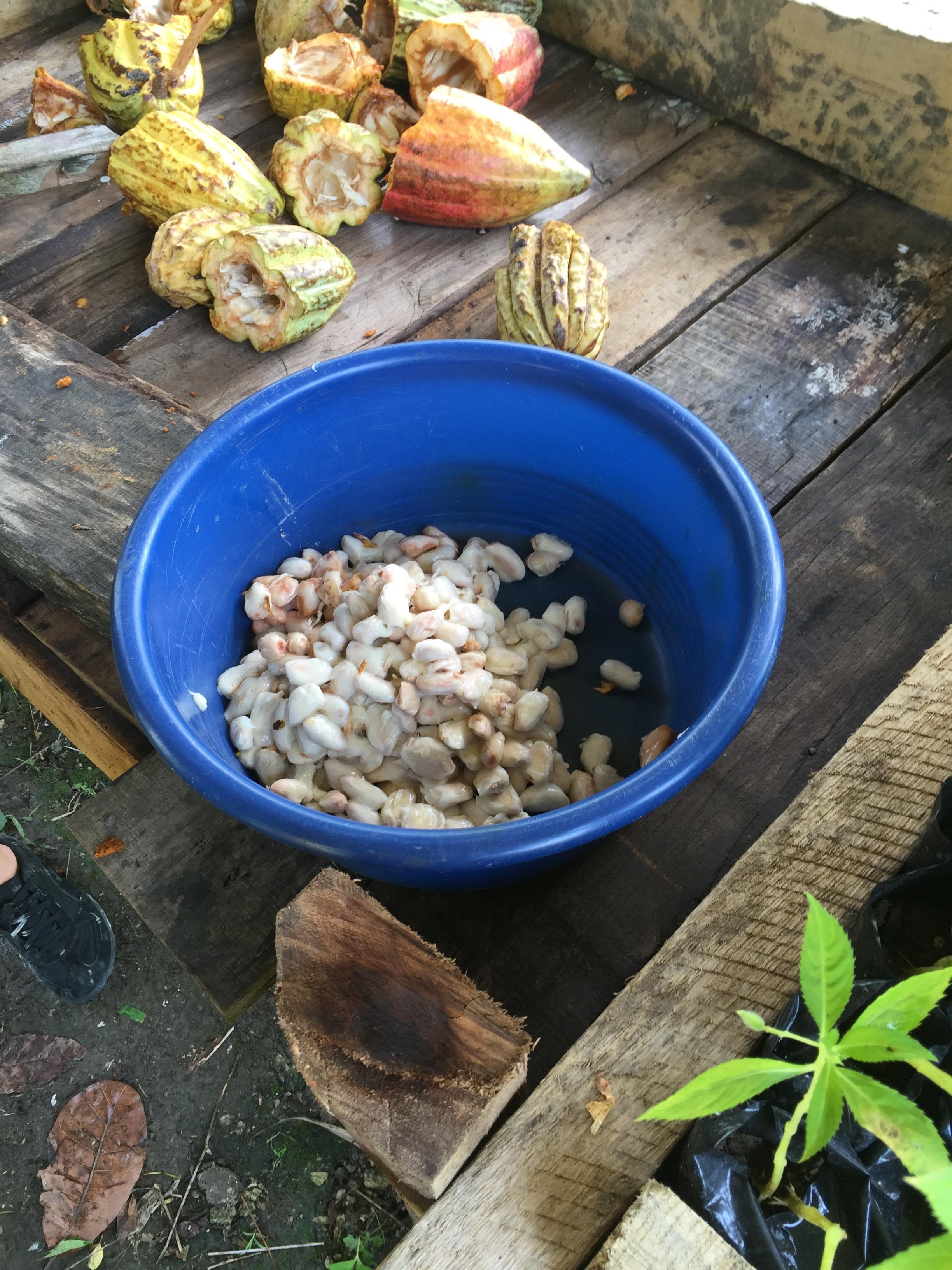 Pods open & seeds