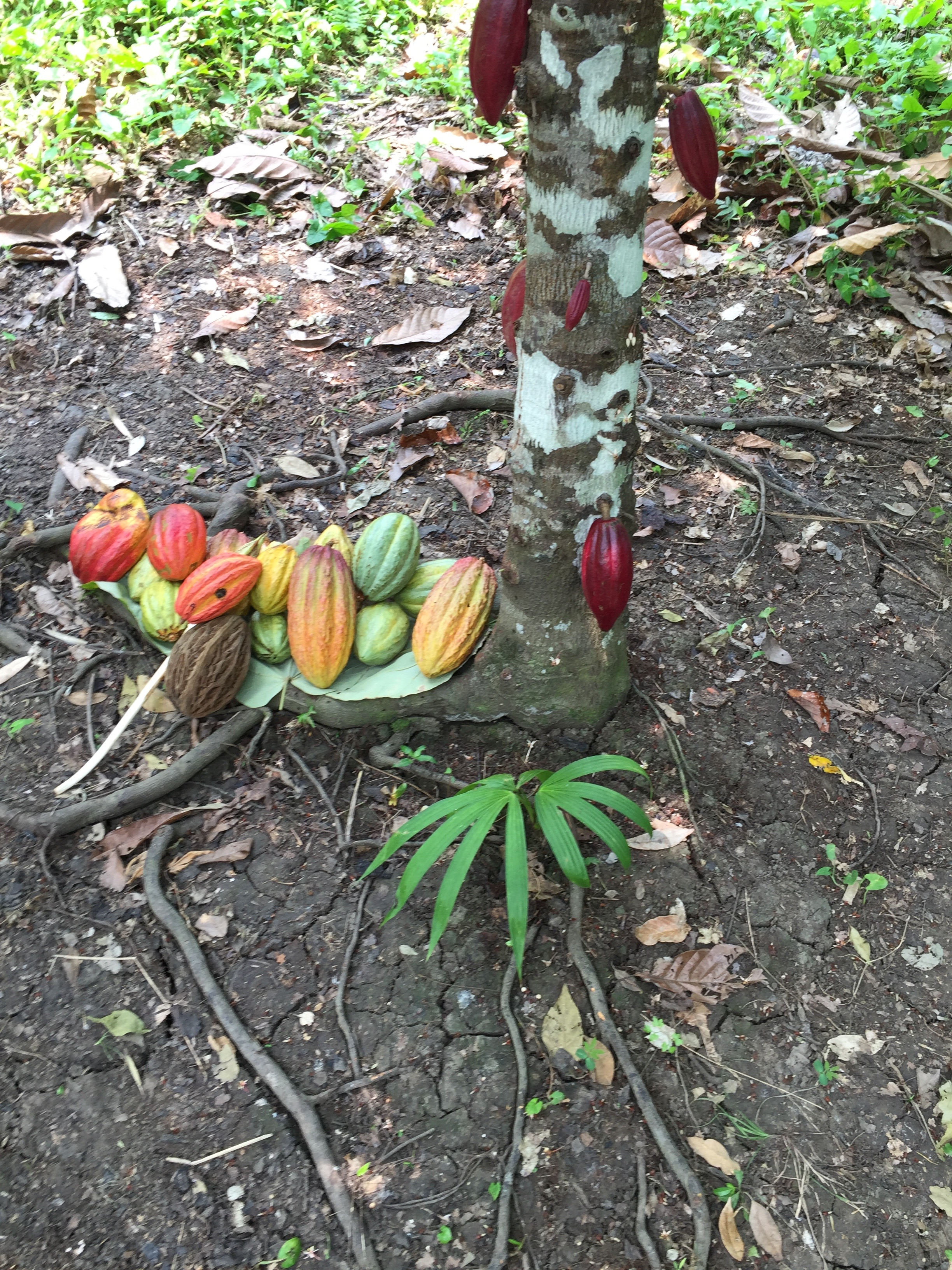 Cacao pods harvested