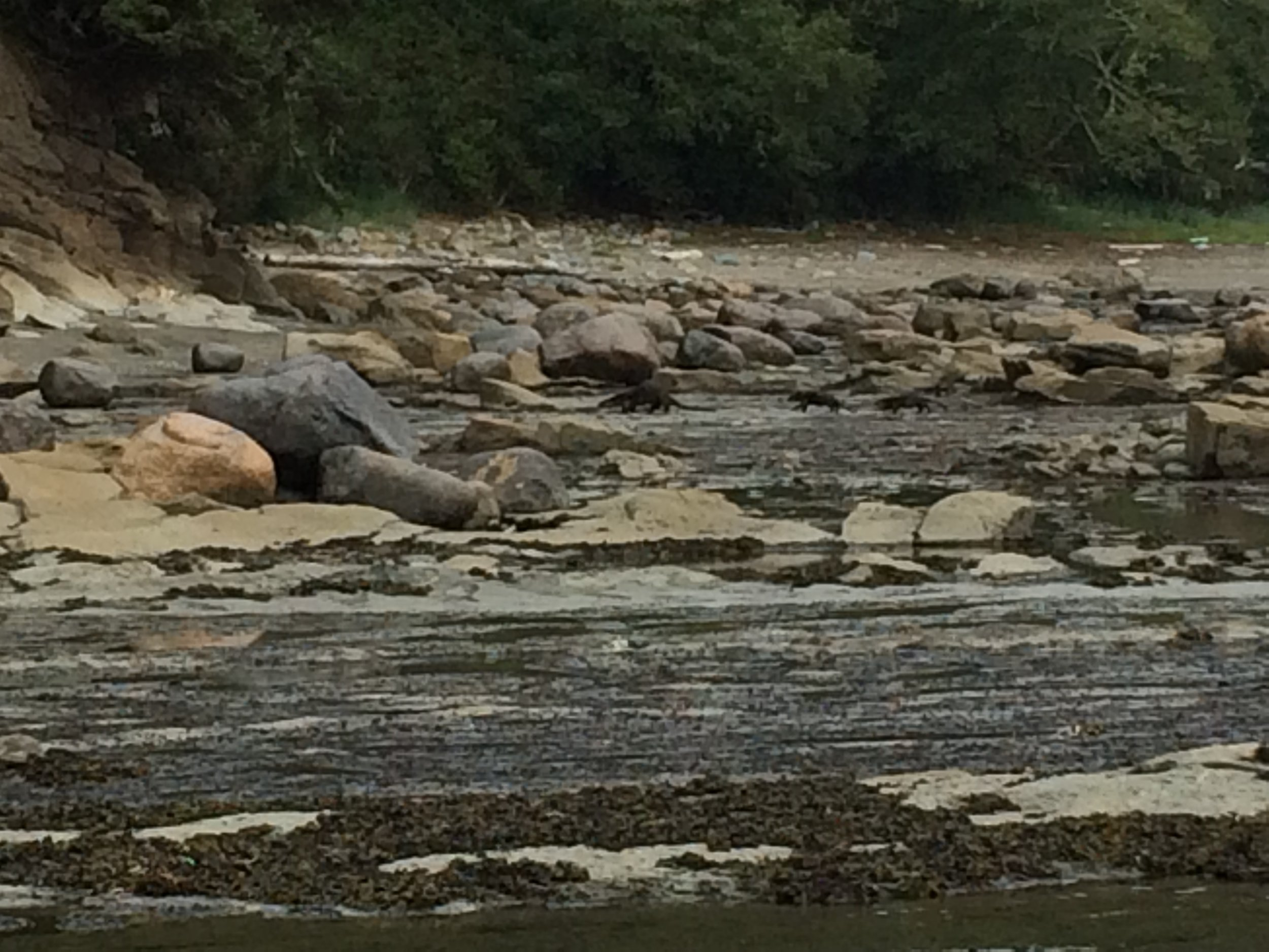 A river otter family