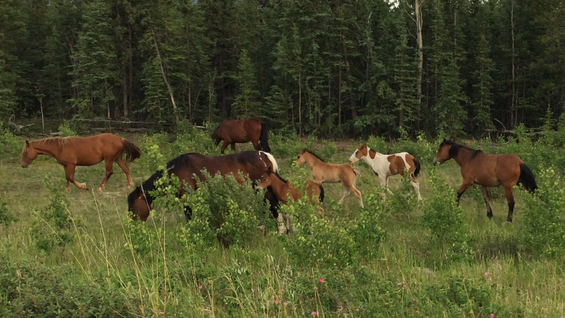 Wild horses in the Takhini River valley. Very cool and unexpected... I didn't even know there was wild horses left in Canada.