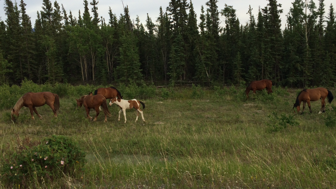 IMG_1589 wild horses.PNG