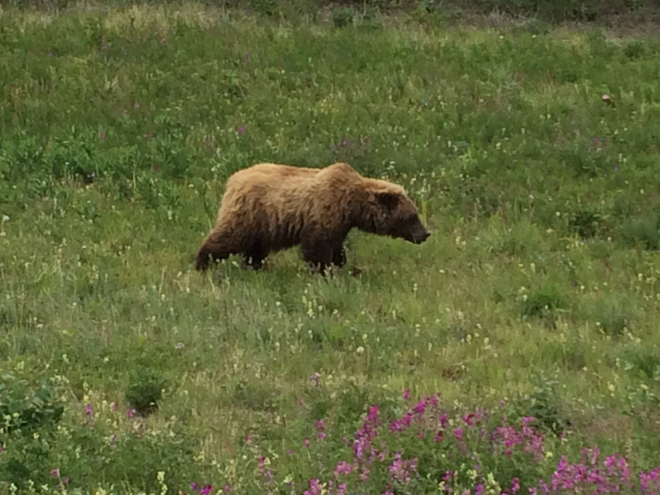 The best grizzly pic I've taken so far. I took it out of my car window so don't worry, I wasn't in danger. I slowly crept up for the pic and then faded away... I didn't disturb the bear and it never even acknowledged I was there.