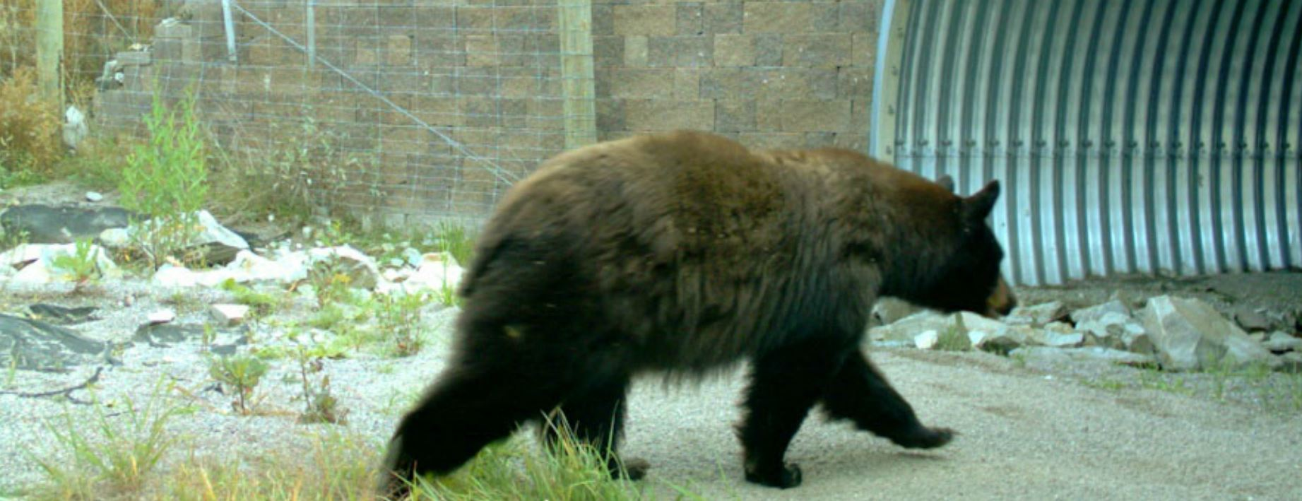 A bear using the I-93 underpass (photo courtesy of  Peoples Way Wildlife Crossing )