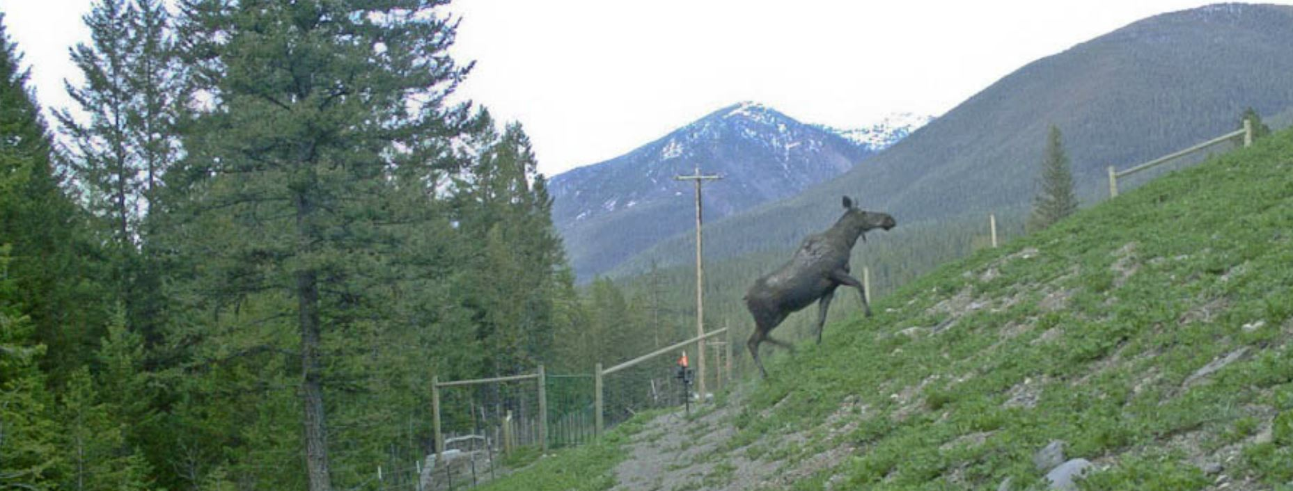 A moose being encourage to the overpass through installed fencing (photo courtesy of Peoples Way Wildlife Crossing )