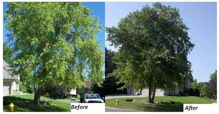 River birch before and after leaf chlorosis treatment