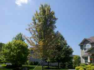 Maple tree showing signs of stress from lack of water