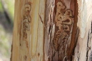 Shadywood Tree Experts - EAB