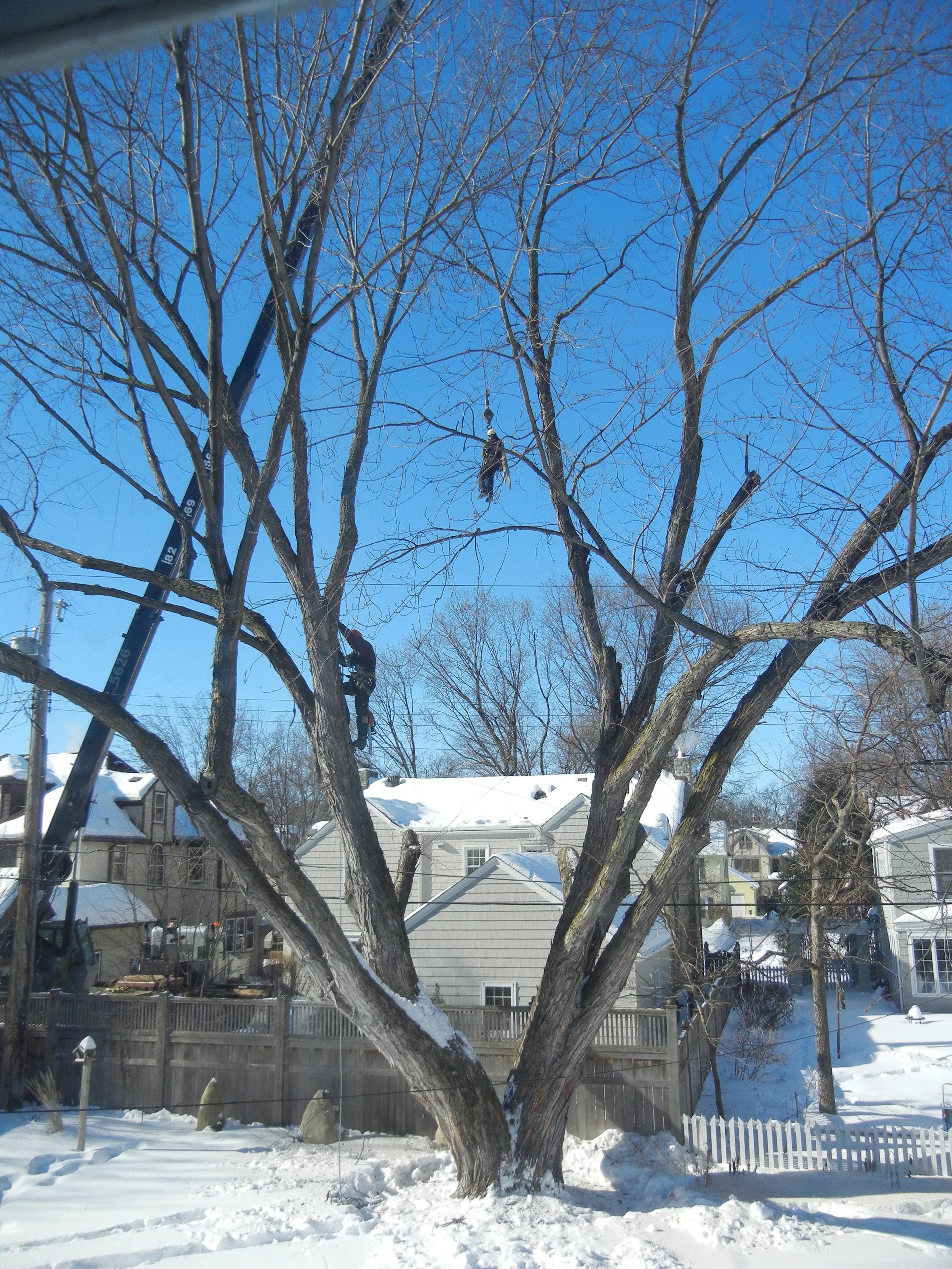 Tree Removal Feb. 2014 021.JPG