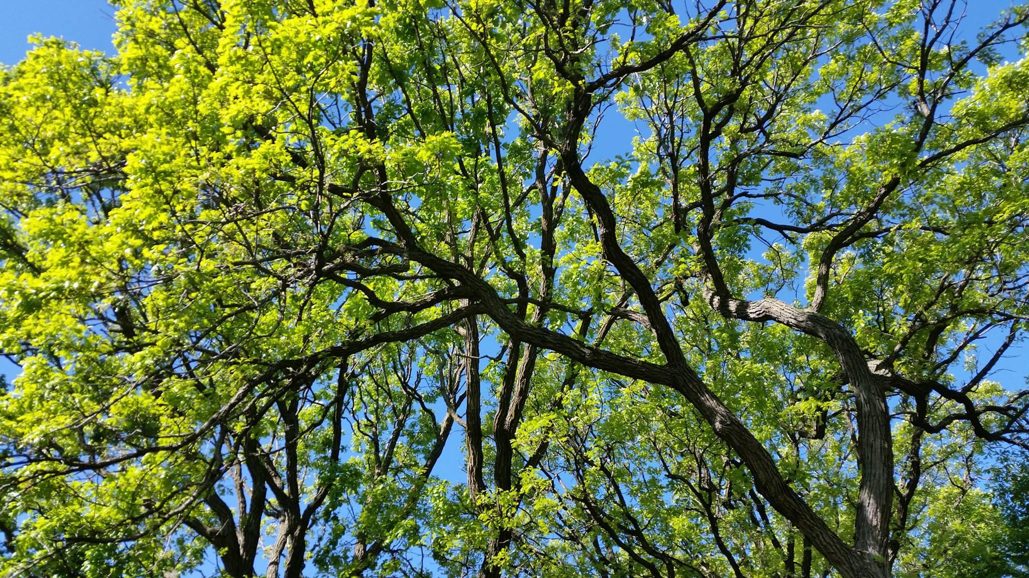 Beautiful tree canopy.jpg