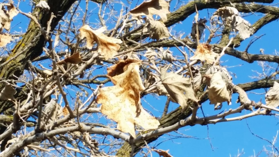 Infected leaves remain attached to tree all winter to infect new leaves the following spring.