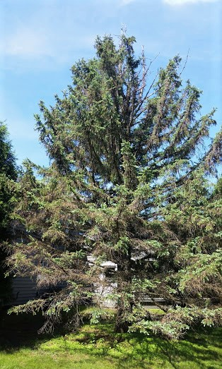 This large spruce has been nearly defoliated by spruce spider mites